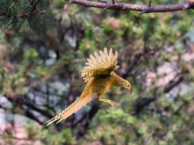 雉雞能飛很高