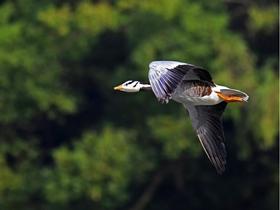 飛翔的斑頭雁