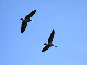 空中斑頭雁