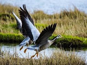 青海湖畔斑头雁