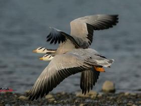 騰飛的斑頭雁