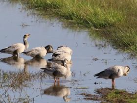 威寧草海候鳥斑頭雁
