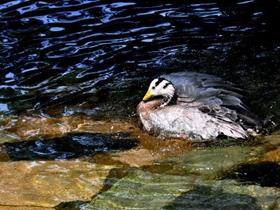 洗澡的斑头雁