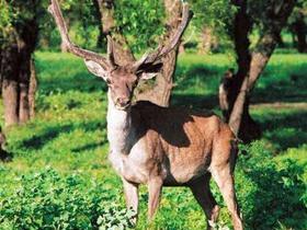 大型鹿类马鹿