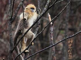 神农金丝猴