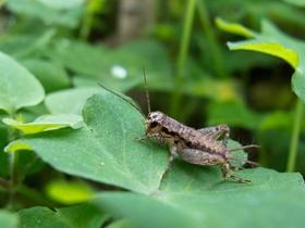 虫虫来了小蟋蟀