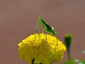 蟋蟀站在花朵上