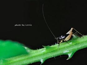 背部黑色的蟋蟀