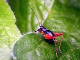 红大腿蟋蟀