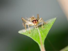 蟋蟀是蛉蟋科