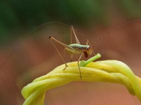 蟋蟀仔图片