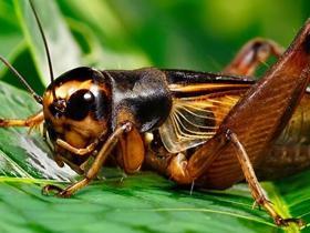 蟋蟀之王圖片