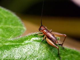 小蟋蟀的身影