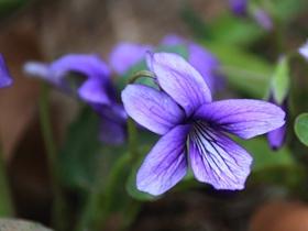 春花争艳紫色地丁花