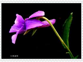 紫色地丁花可入药