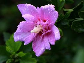 北海花园木槿花