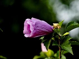 枫岭木槿花