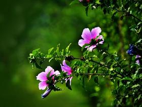 路边的木槿花