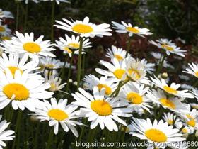 徐州行植物白晶菊