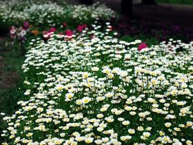一丛丛的白晶菊