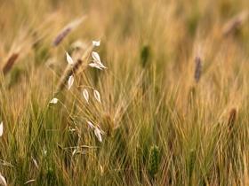 5月西昌的麦穗