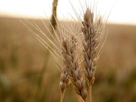 狄寨塬上的麥穗