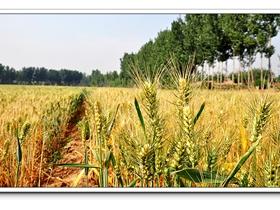 麦穗与农民