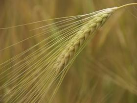 舞动的麦穗
