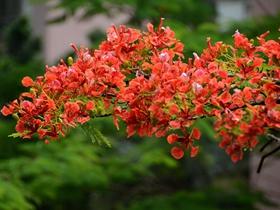 雨后凤凰花