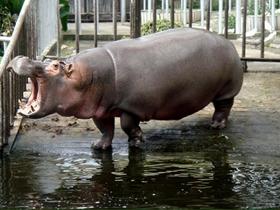 水中巨獸河馬