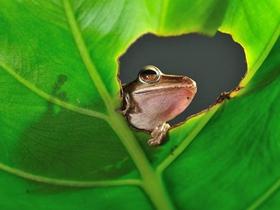 斑腿树蛙图片