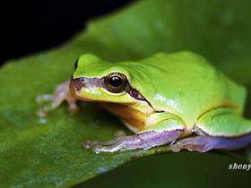 蚕头大小的树蛙