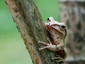 蟲蟲世界樹蛙