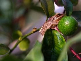 橘子樹上的樹蛙