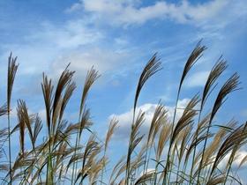 芒草遍生家鄉的山野
