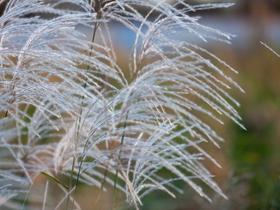 秋天的氣息芒草