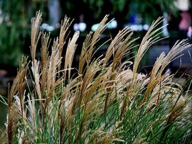 上海延中綠地芒草