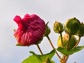 草本木槿花