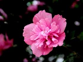 木槿花开惹人爱
