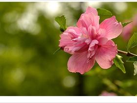木槿花开畏日长