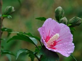 明媚鲜艳木槿花