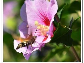 天蛾与木槿花
