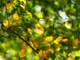 初秋的白桦林