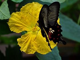 蝴蝶與絲瓜花