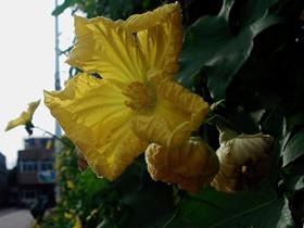黃黃白白絲瓜花