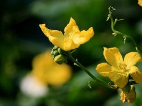 金黃的絲瓜花