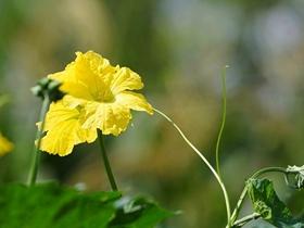 靜靜的絲瓜花