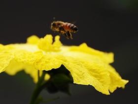 蜜蜂和丝瓜花的舞蹈