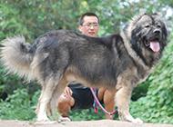 世界大型猛犬高加索犬圖片