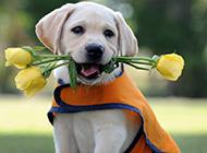 嘴里含著花的三個月拉布拉多犬圖片